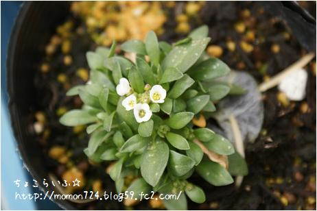 種蒔きアリッサムの花