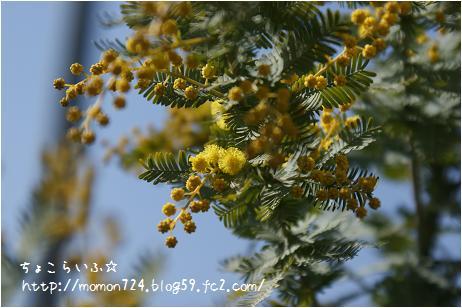 ミモザの開花