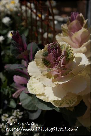 葉牡丹の蕾