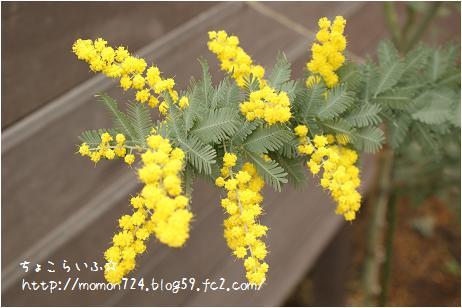 ミモザの開花2
