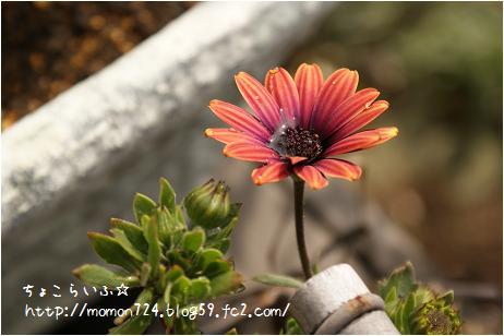 オステオスペルマムの開花