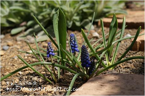ムスカリの開花