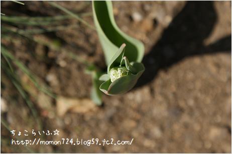 チューリップの花芽