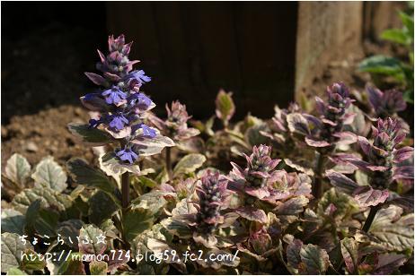 アジュガ<マルチカラー>の開花