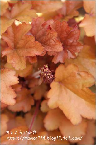 ピーチフランバの花芽
