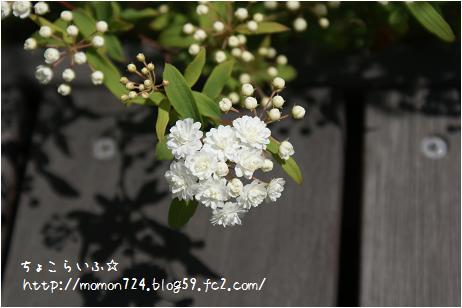 八重咲きコデマリの開花2