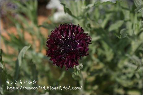 ブラックボールの開花