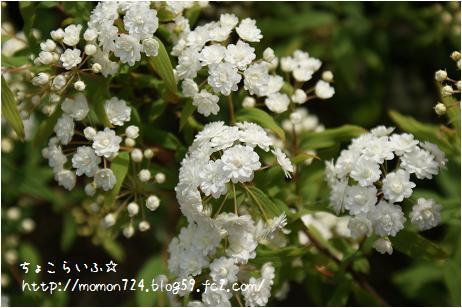 八重咲きコデマリの開花3