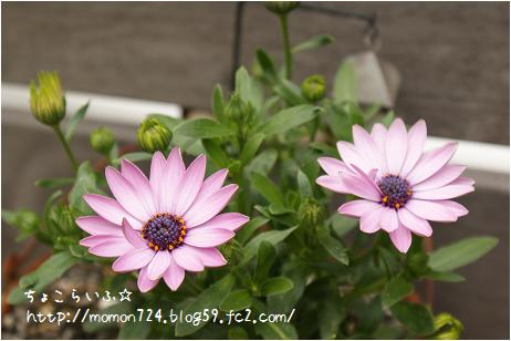 種蒔き苗<オステオスペルマム>の開花