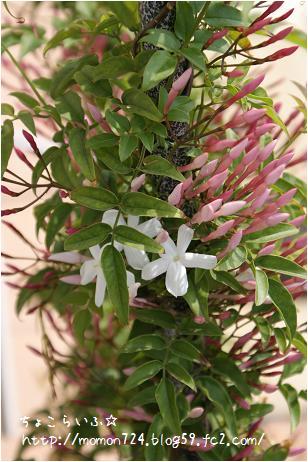 ハゴロモジャスミンの開花2