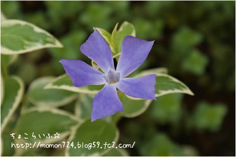 ツルニチニチソウのお花
