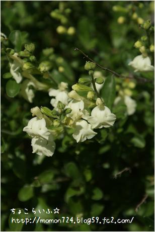 チェリーセージのお花