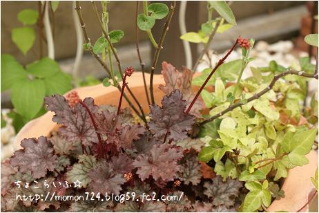ファンタンゴの花芽