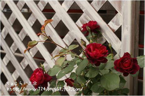 ユーロピアーナ 一番花
