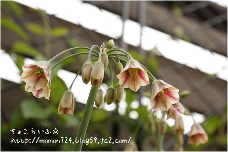 アリウム<ブルガリカム・シクラム>の開花