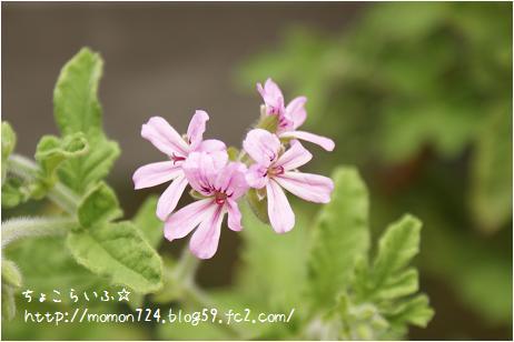 レモンローズゼラニウム 開花