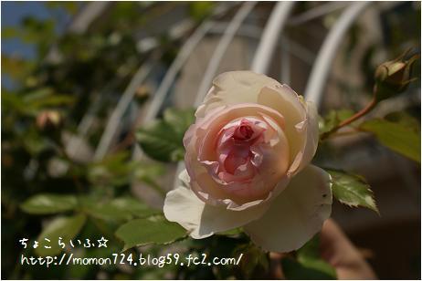 つるバラ<ピエール・ド・ロンサール>