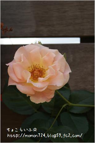 つるバラ<ロココ>