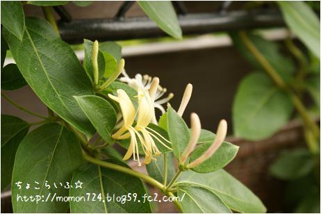 ハニーサックルの開花