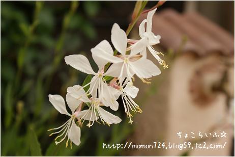 ガウラの開花2