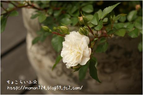 グリーンアイスの開花