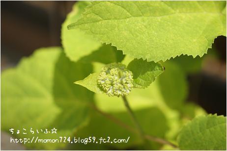 アナベルの花芽