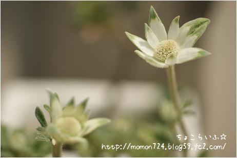 フェアリーホワイトの開花