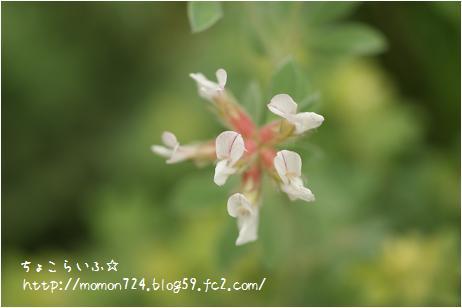 ロータスブリムストーンのお花