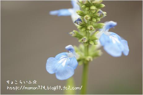ボッグセージのお花