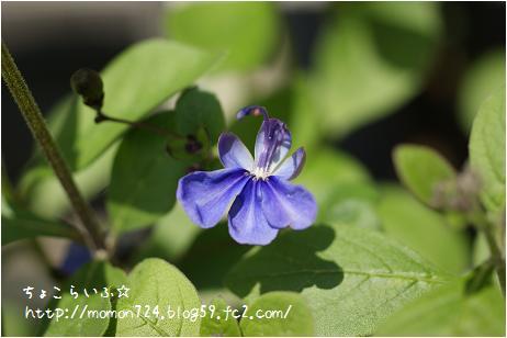 ブルーウィング 開花
