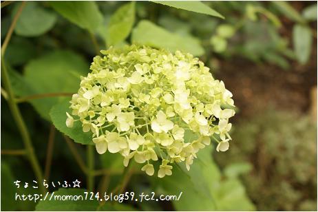 アジサイ<アナベル> 開花