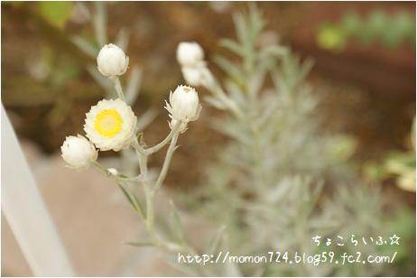 ホワイトシップの花