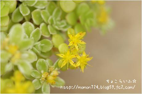 セダムのお花