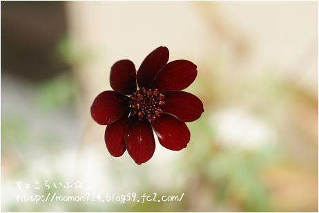 ショコラのお花