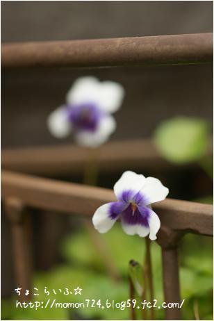 パンダスミレのお花