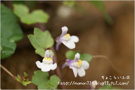 コロッセウムアイビーのお花