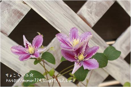 クレマチス<ピール> 二番花