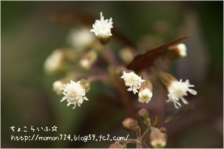 ユーパトリウム<チョコレート> お花