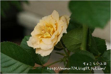 アンティークレースの開花