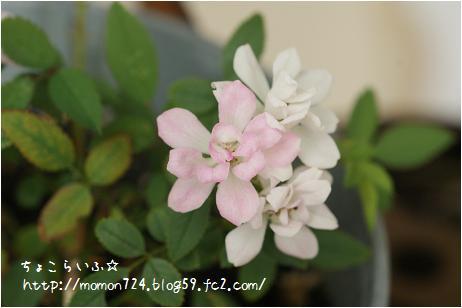レンゲローズの開花