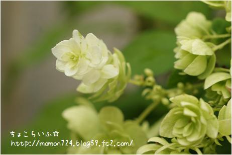 八重咲きアジサイ<銀河の花火>2