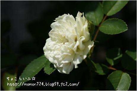 グリーンアイスの花