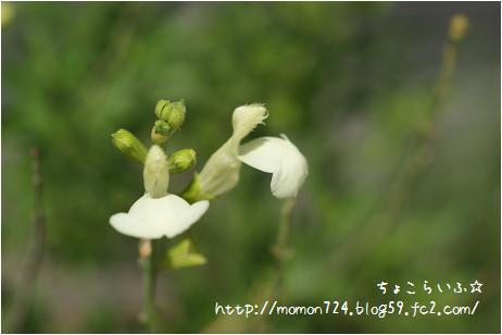 チェリーセージ<クリーム>の花