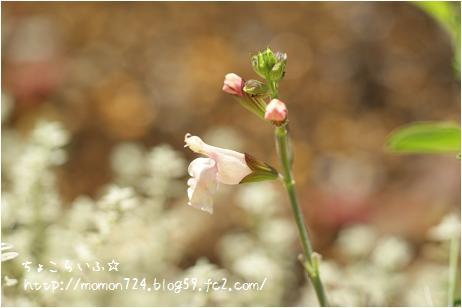 チェリーセージ<サーモン>の花