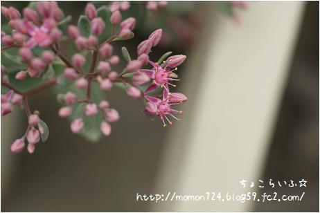 ヒダカミセバヤの開花