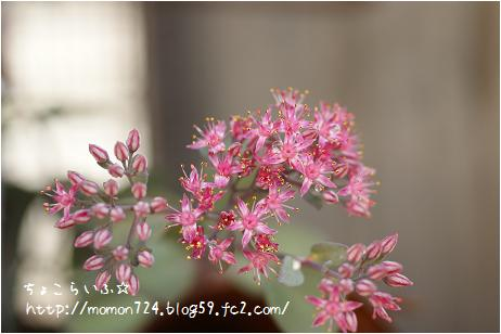 バートラムアンダーソン 開花