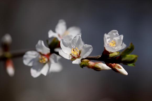 ユスラウメ(梅桃・山桜桃・桜桃)