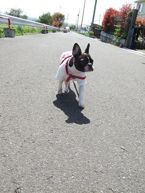 2008_0927小春2009 散歩+小春プル0026y