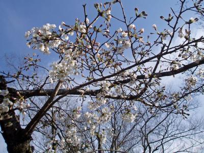 桜 007