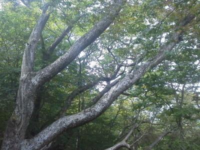 13女性的な樹400P1001024